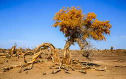 Populus euphratica. Hu Yangchang growing in the desert, it is cold, drought, salt, resistant to wind and sand, there is a strong vitality. Born Populus Stock Images
