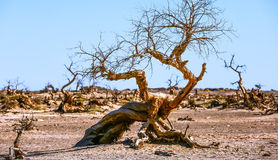 Populus euphratica. Hu Yangchang growing in the desert, it is cold, drought, salt, resistant to wind and sand, there is a strong vitality. Born Populus Stock Photography