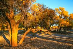 Populus euphratica. Hu Yangchang growing in the desert, it is cold, drought, salt, resistant to wind and sand, there is a strong vitality. Born Populus Stock Photo