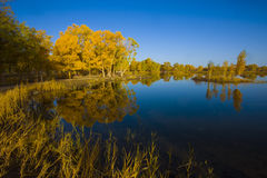 Populus euphratica beside the lake. The Populus euphratica trees  beside the lake  in autumn season Royalty Free Stock Image