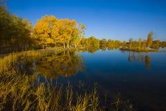 Populus euphratica beside the lake Royalty Free Stock Image