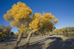 Populus euphratica. A piece of Populus euphratica forest, with blue sky Stock Photography