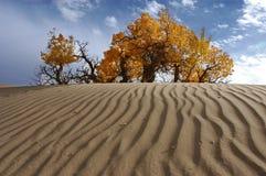 Populus euphratica in Qinghai. The populus euphratica in the desert in Qinghai-Tibet Plateau Stock Photo