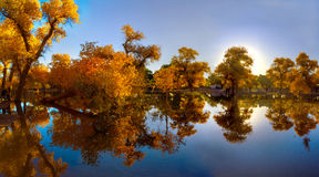 Populus euphratica with Reflection Stock Photography
