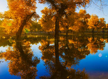 Populus euphratica with Reflection. The Populus euphratica with Reflection Royalty Free Stock Photo