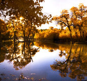 Populus euphratica with Reflection Royalty Free Stock Image