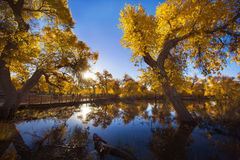 Populus euphratica with  reflection Royalty Free Stock Photo