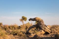 Populus euphratica su Gobi immagini stock