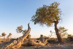 Populus euphratica su Gobi fotografia stock