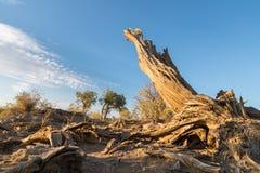 Populus euphratica sul deserto di Gobi fotografia stock libera da diritti