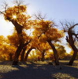 Populus euphratica in sunshine. The Populus euphratica in sunshine Royalty Free Stock Photos