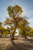 Populus euphratica in the sunshine Stock Images