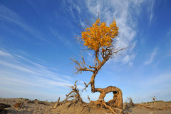Populus euphratica tree Royalty Free Stock Photography