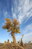 Populus euphratica tree with clouds Royalty Free Stock Images