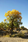 Populus euphratica tree in desert Stock Photos