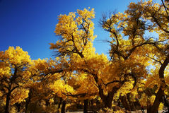 Populus euphratica tree forest Royalty Free Stock Photo