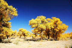 Populus euphratica tree forest Stock Images
