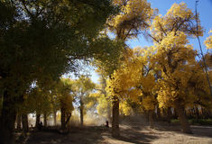 Populus euphratica tree forest Royalty Free Stock Photography