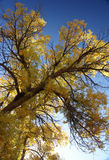 Populus euphratica tree with golden leaves Stock Image