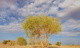 Populus euphratica tree Royalty Free Stock Image