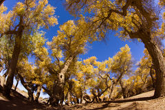 Populus euphratica trees. The Populus euphratica trees under blue sky in autumn season Inner Mongolia,China Stock Photos