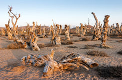 Populus euphratica Withered tree. The Uyghur Populus is Clark, which means `the most beautiful tree`. Because of its amazing anti drought, wind and sand Royalty Free Stock Photo