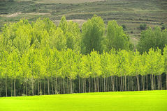 Populus forest Stock Photo