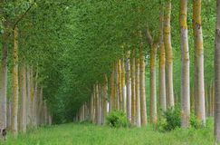 Populus forest Royalty Free Stock Photo