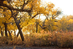 Populus forest Stock Photography