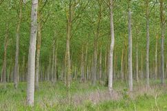 Populus forest Royalty Free Stock Photos