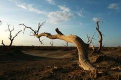 Populus mort de diversifolia Photo libre de droits