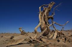 Populus muerto de Diversifolia Foto de archivo