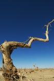 Populus muerto de Diversifolia Fotografía de archivo