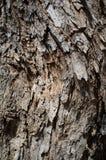 Populus Nigra eller för svart poppel trädskäll eller Rhytidome texturdetalj royaltyfri fotografi