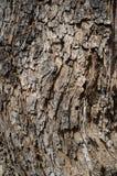 Populus Nigra eller f?r svart poppel tr?dsk?ll eller Rhytidome texturdetalj royaltyfria bilder
