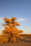 Populus. In October is the golden season of Populus diversifolia eyeful looked full of pictures depicting golden Royalty Free Stock Image