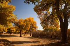 Populus. In October is the golden season of Populus diversifolia eyeful looked full of pictures depicting golden Stock Image