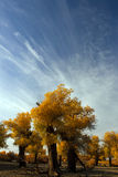Populus. In October is the golden season of Populus diversifolia eyeful looked full of pictures depicting golden Royalty Free Stock Images