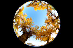 Populus. In October is the golden season of Populus diversifolia eyeful looked full of pictures depicting golden Royalty Free Stock Photos
