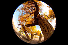 Populus. In October is the golden season of Populus diversifolia eyeful looked full of pictures depicting golden Royalty Free Stock Photo