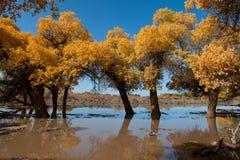 Populus. In October is the golden season of Populus diversifolia eyeful looked full of pictures depicting golden Stock Photos