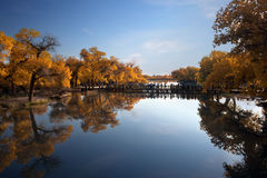 Populus. In October is the golden season of Populus diversifolia eyeful looked full of pictures depicting golden Royalty Free Stock Photography