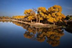 Populus. In October is the golden season of Populus diversifolia eyeful looked full of pictures depicting golden Stock Photo