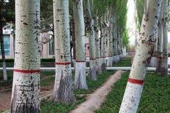 Populus tomentosa Carr Zdjęcie Royalty Free