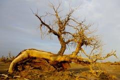 Populus tot in der Wüste. lizenzfreie stockbilder