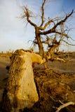 Populus tot in der Wüste. stockbild