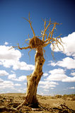 Populus tot in der Wüste. stockfotografie
