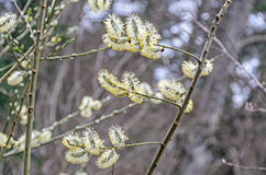 Populus tree white furry buds, close up branches Stock Photo