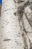 Populus tremula, albero della tremula, albero della tremula di tremito o del pioppo tremolo fotografia stock libera da diritti