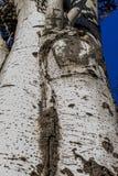 Populus tremula, albero della tremula, albero della tremula di tremito o del pioppo tremolo fotografia stock